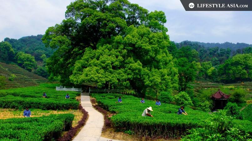 Plantação de chá Longjing