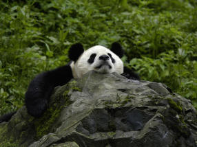 Apple WWF panda Apps for Earth giant-panda-what-wwf-is-doingHI_113976 copy